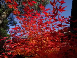 去年の鷹峰光悦寺の紅葉どすえ~♪
