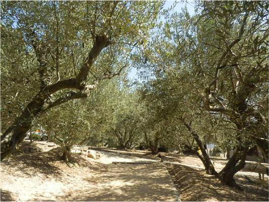 オリーブ並木