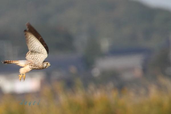 チョウゲンボウ(201410254587)