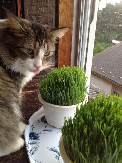 ネコ草食べよう