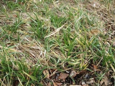 ハマニンニクの芽