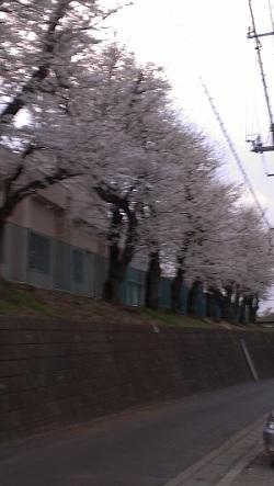 2013学校桜