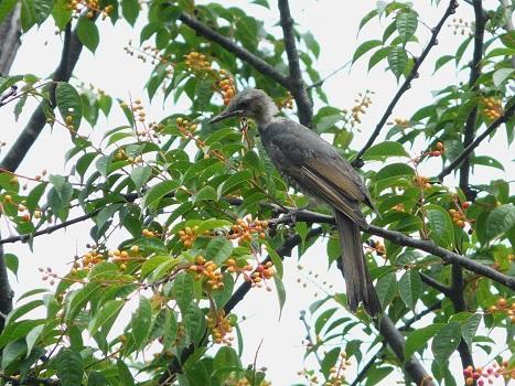 130703ヒヨドリ幼鳥:羽村堰 (2)