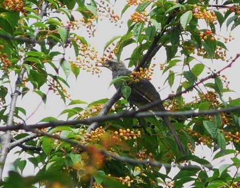 130703ヒヨドリ幼鳥:羽村堰 (3)