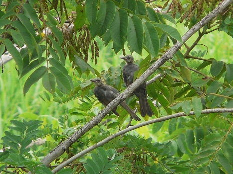130703ヒヨドリ幼鳥:羽村堰