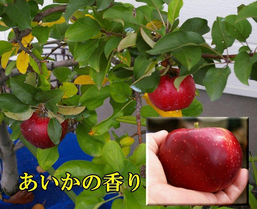 1aikanokaori1102c1.jpg