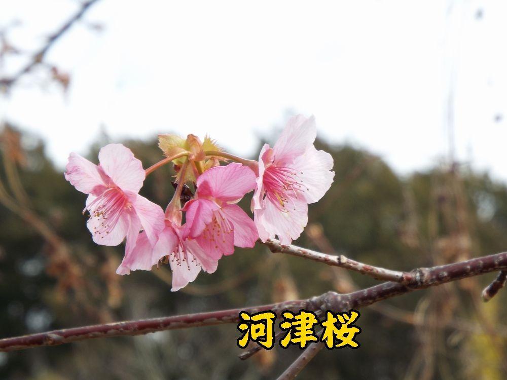 1kawazu0211c2.jpg
