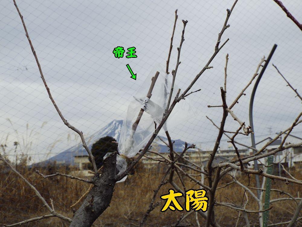 1sumomo0125c2.jpg