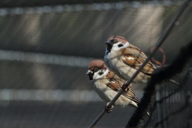 すずめも野鳥11