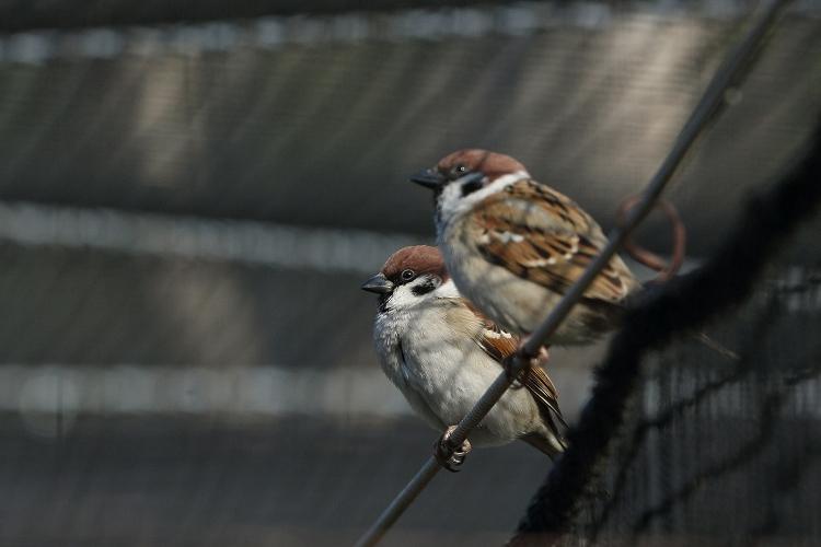 すずめも野鳥09