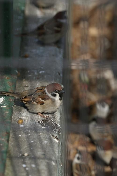 すずめも野鳥25