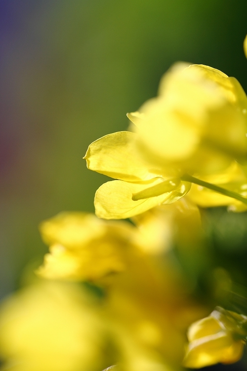 ハナナの開花は春の予感07