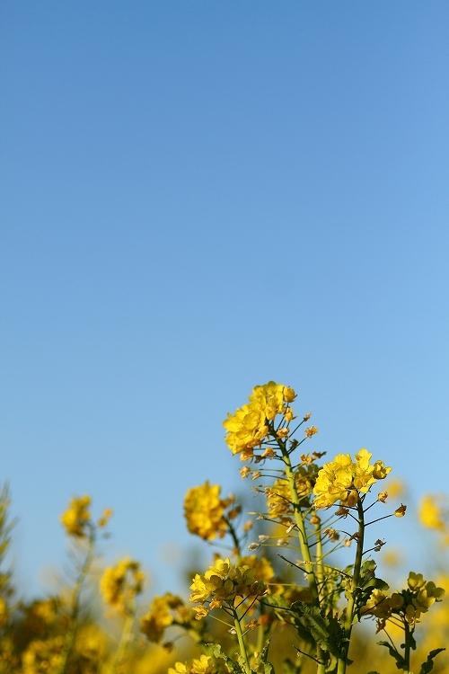 ハナナの開花は春の予感08