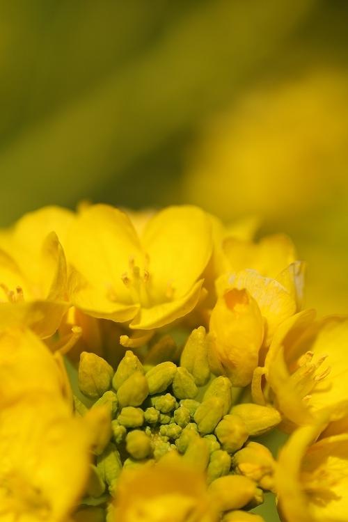 ハナナの開花は春の予感06
