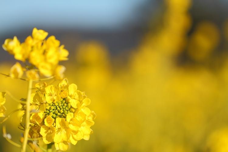ハナナの開花は春の予感03