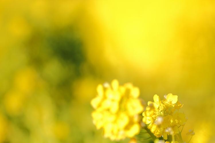 ハナナの開花は春の予感02
