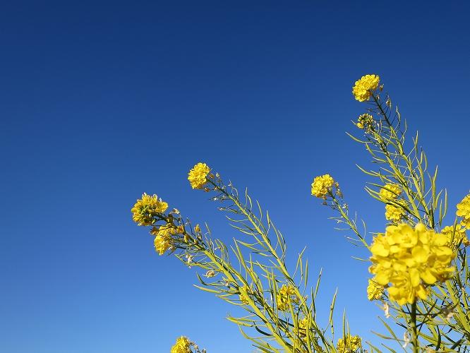 ハナナの開花は春の予感01