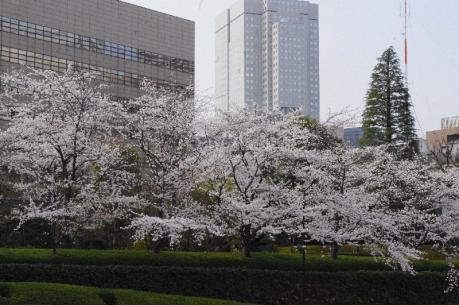 sakura 並木
