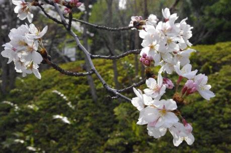 オータニ公園の桜