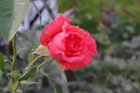 赤薔薇 1