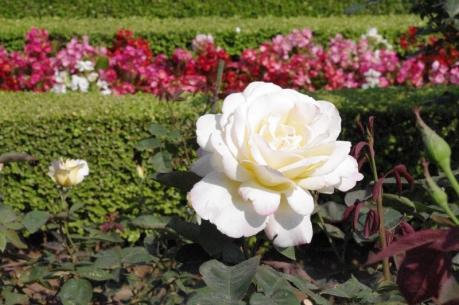白薔薇 1