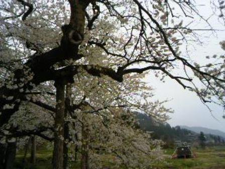 会津の五桜のひとつ、名物の石部桜 から飯盛山を臨む 山裾にはさざえ堂が