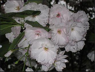 花弁の数が70以上という古代種。いにしえの京貴族もこの桜をながめて・・・