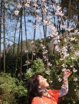 ソメイヨシノ、八重桜、枝垂桜、みんな綺麗でした 最後までありがとう