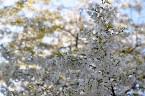 2うば桜13.03.23
