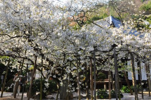 1うば桜13.03.23