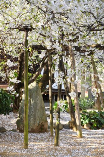 3うば桜13.03.23