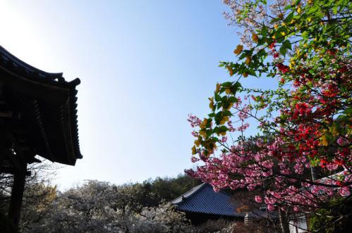 5うば桜13.03.23