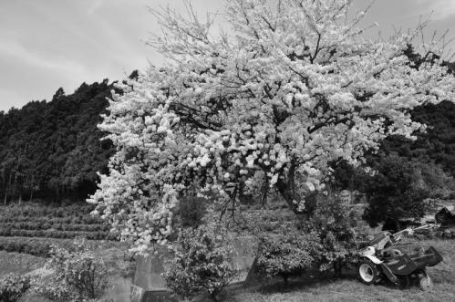 8桜と13.04.01