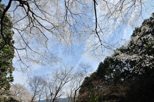 3源太桜13.04.01