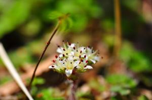 15白花ネコノメソウ13.04.09