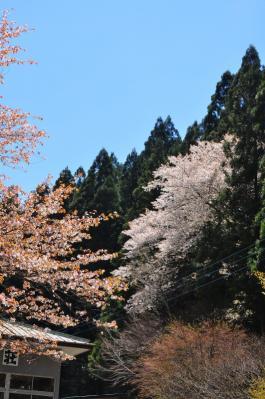 11桜13.04.22