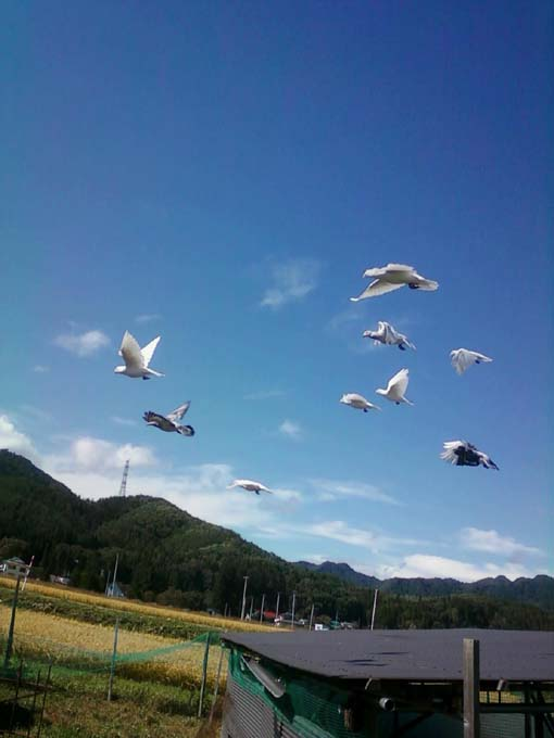 若鳩2013101101