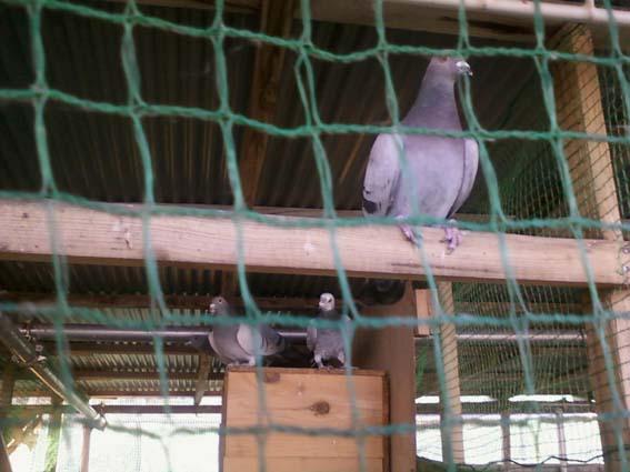 ポロクロ鳩舎さんから2013111902