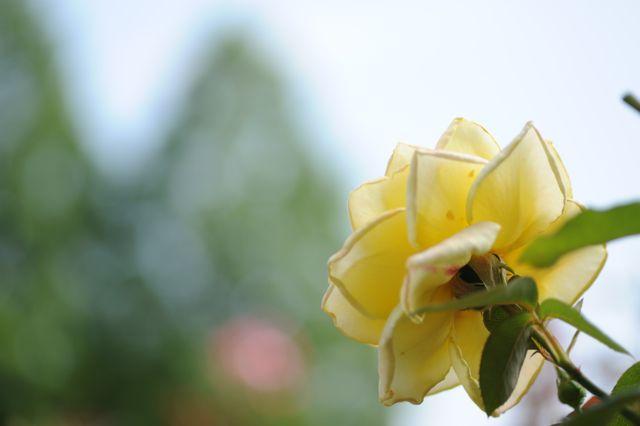 黄色 バラ 裏側