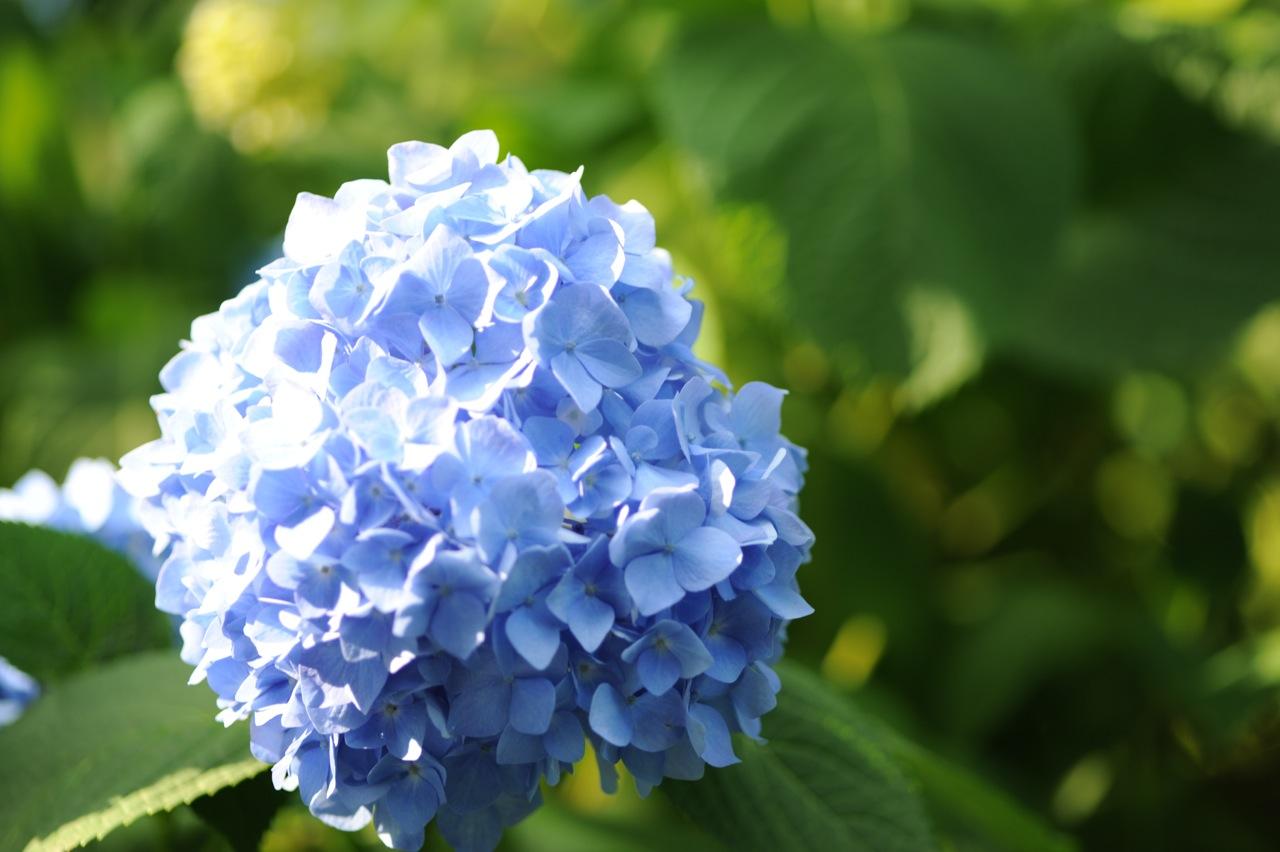 紫陽花 青 2 サイズ大
