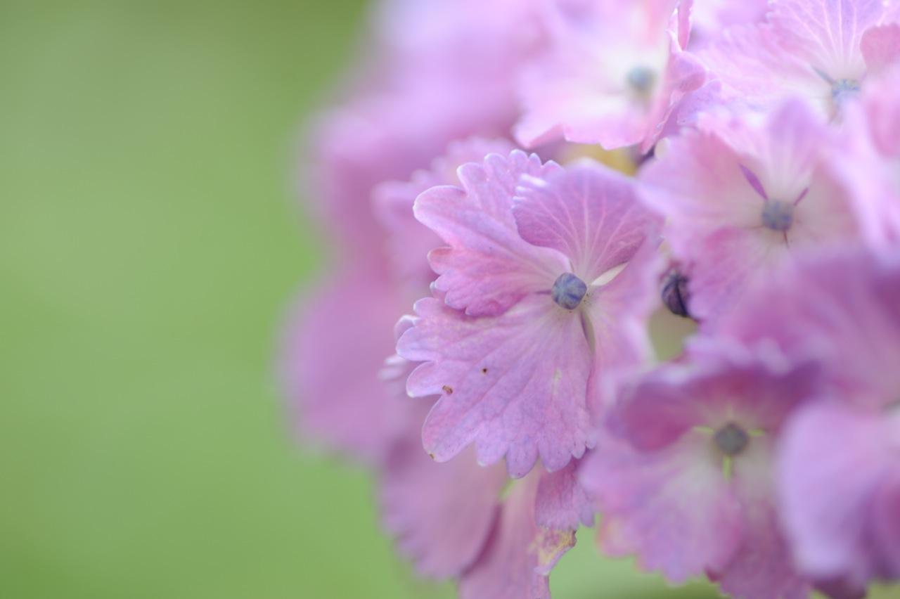 紫陽花 紫 花びら 2