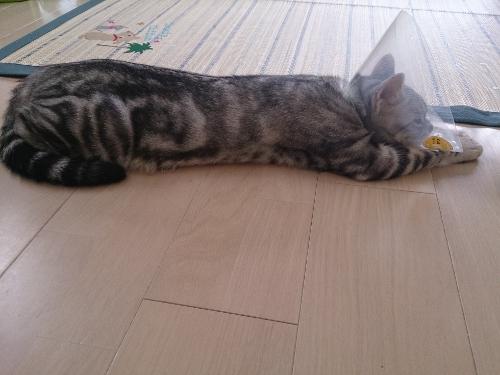 寝そべるこはく3