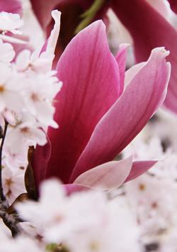 桜にモクレンが咲いたよ