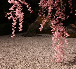 石庭にかかる桜