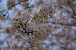 白く写ってしまう桜