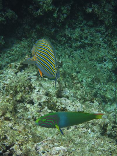 慶良間魚1