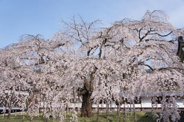 京都 枝垂桜