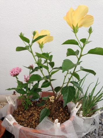 金ちゃんの花