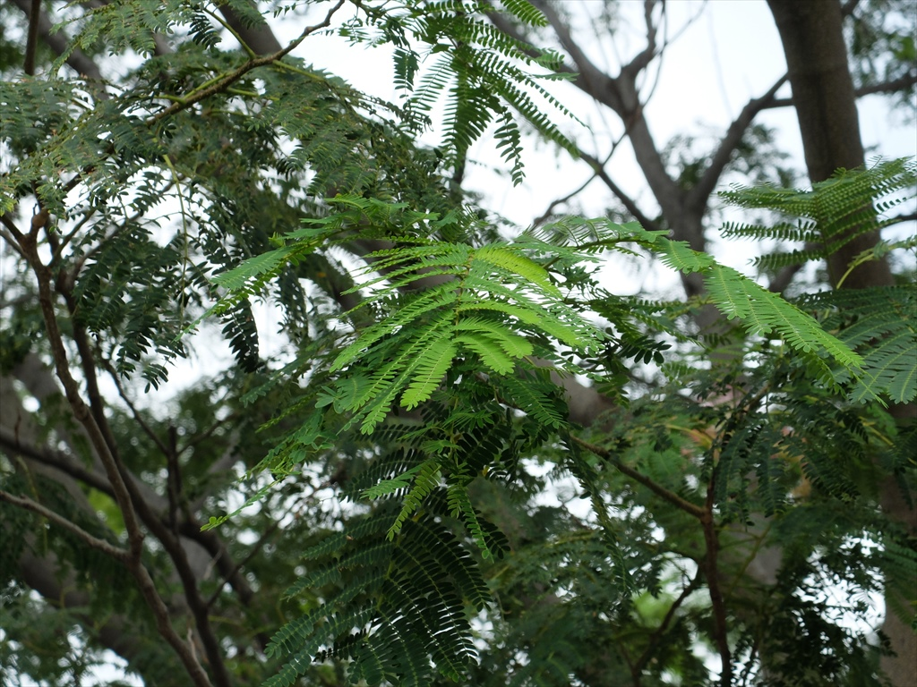 ねむの木の葉
