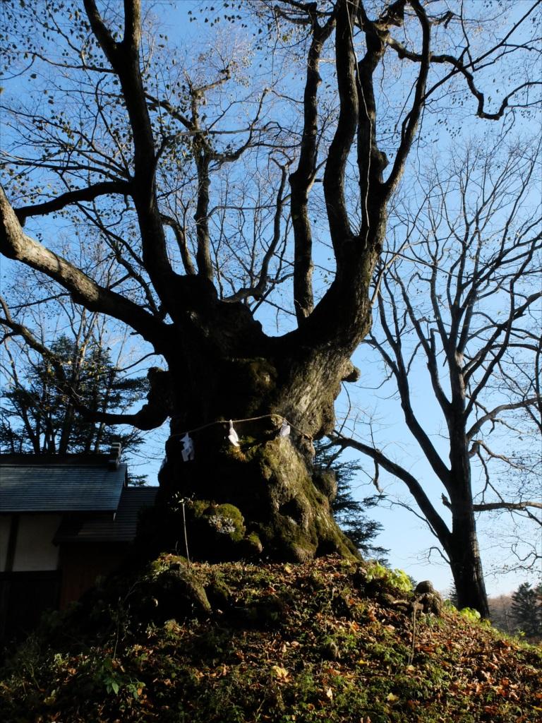 樹齢800年の御神木・シナノキ